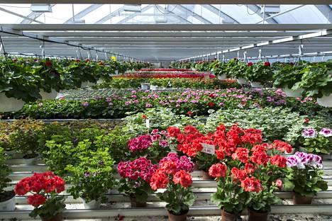 Viileä ja valoisa, noin 5–10 asteen lämpötila on kasville paras paikka talvehtimiseen.