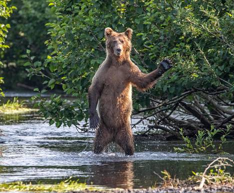 Karhu tervehti kulkijaa Alaskassa.