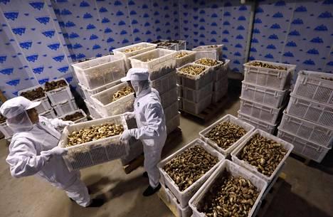 Matsutake-laatikoita pinotaan Kiinassa elokuun puolivälissä.