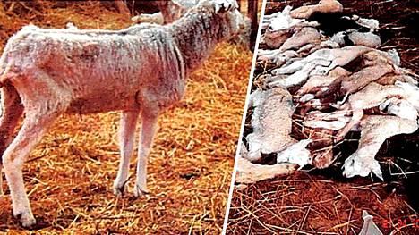 Vuosia jatkuneen kaltoin kohtelun uhrina oli yhteensä 300 lammasta.