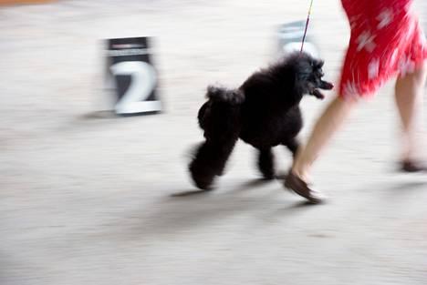 Koiranäyttelyissä käynti on suosituin koiraharrastus.