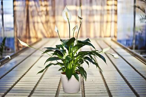 Viirivehka on kiitollinen huonekasvi.