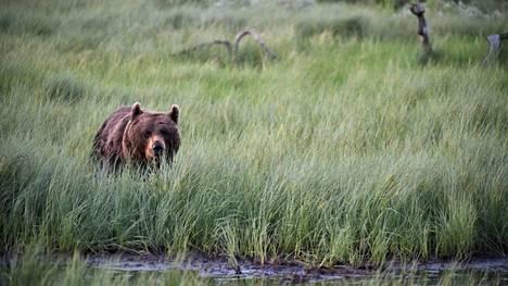 Karhujen ja niiden puuhien seuraileminen herättää kunnioitusta ja ihailua sekä suunnatonta iloa.