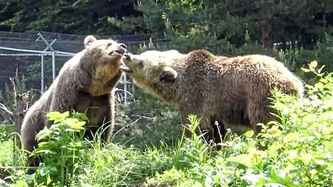 Kahden karhun tutustuttaminen voi eläimiä pelastavan järjestön mukaan olla haastavaa, mutta Rikun ja Gabriellan ensimmäinen kohtaaminen oli maaginen.