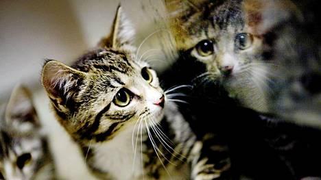 Kaksi kissanpentua Riihimäen eläinsuojeluyhdistyksen tiloissa.