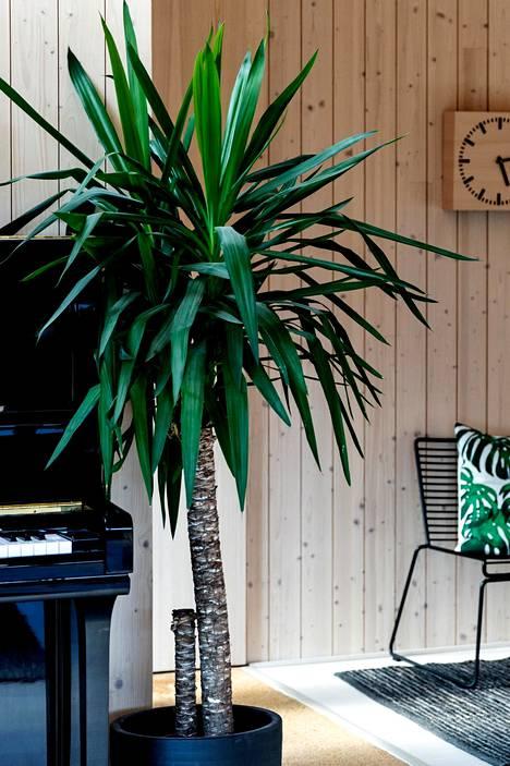 Jukkapalmu on helppohoitoinen ja suosittu huonekasvi.