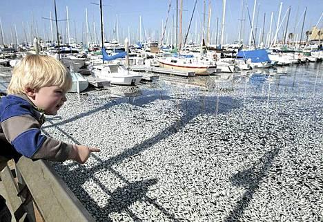 Pikkupoika hämmästelee kuolleita kaloja Redondo Beachin satamassa Los Angelesissa.