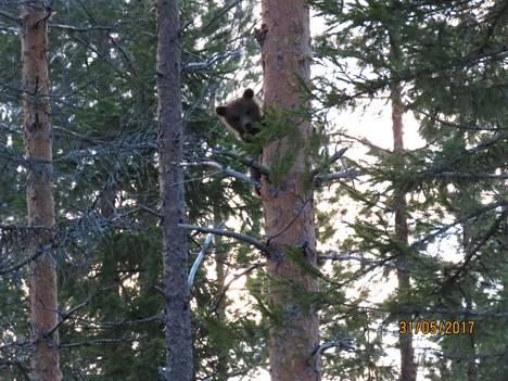 Puuhun päästyään pennut pysähtyivät tarkkailemaan paikalle saapunutta kuvaajaa.