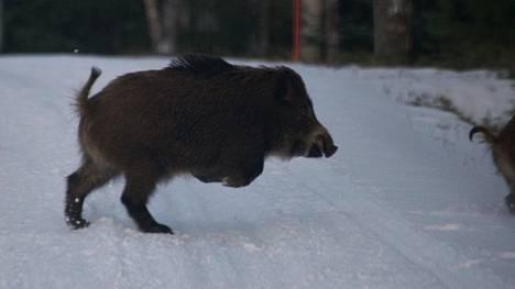 Pursiainen sai kuvan ainakin neljästä villisiasta. Kun hän nousi autosta ulos, perästä ei kuulunut enää muuta kuin röhinää.