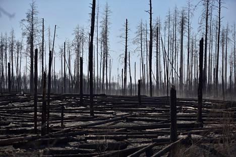 Hiiltyneitä puunrunkoja suojavyöhykkeellä sijaitsevalla Polisken alueella sunnuntaina.