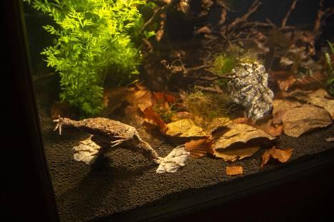 Korkeasaaren sammakkoyksilöllä ei ole vielä poikasia selässään.
