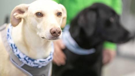 Koronanhaistajiksi valmennettuja koiria Helsinki-Vantaan lentoasemalla 11. huhtikuuta 2020.