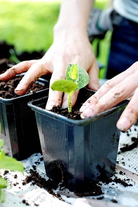 7. Taimi istutetaan joko omaan ruukkuunsa kasvamaan isommaksi taikka lopulliselle kasvupaikalleen. Säännöllinen kastelu on tärkeää.
