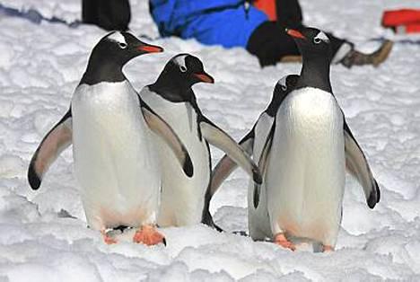 Maailman 17 pingviinilajista Etelämantereella elää seitsemän. Valkokulmapingviinit matkalla.