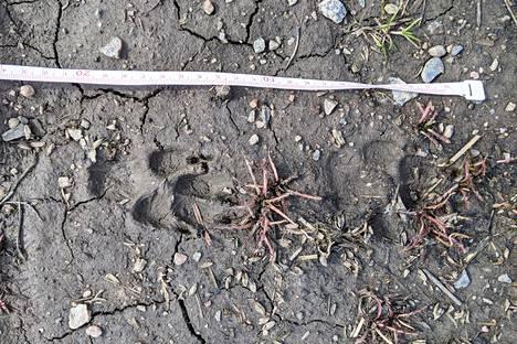 Nämä suden jälkiä pienemät jäljet löytyivät Haltialan puolikkaan ketun luota.