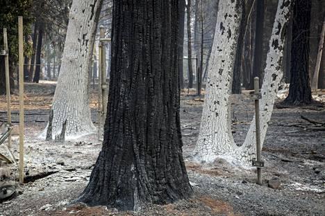 Hiiltyneitä ja tuhkan peittämiä puita Magaliassa Camp Firen jäljiltä.
