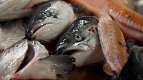 Leväkukinnot aiheuttavat mittavaa tuhoa Norjan lohifarmeilla – lohen hinta jyrkässä nousussa