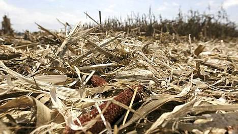 Yhdysvallat kärsii pahimmasta kuivuudesta liki 60 vuoteen, mikä näkyy maissin hinnan nousuna.