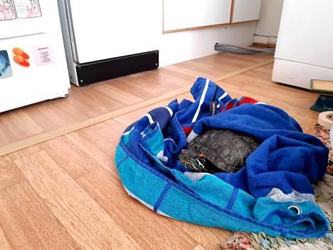 Kilpikonna sai viettää yön Annin kotona hyvässä hoivassa.