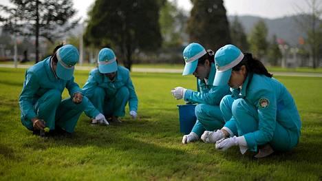 Naiset pitävät huolta suurista ruohoalueista pinsettien ja saksien avulla.