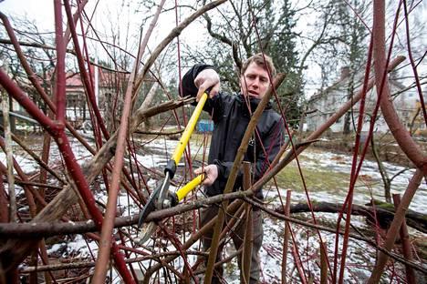 Antti Eronen on jo aloittanut puutarhatyöt leikkaamalla omenapuista ja pensaista oksia.