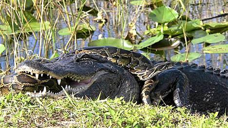 Pyton kietotuneena alligaattorin ympärille Floridassa.