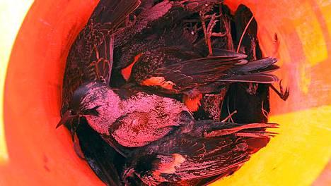 Läjä kuolleita lintuja kerättynä ämpäriin.