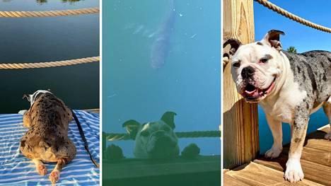 """Englanninbulldoggi Frankin paras ystävä on lammessa asuva """"Bean""""."""