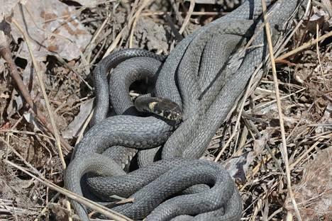 Kyy- ja rantakäärme ovat ainoita Manner-Suomessa pesiviä käärmeitä.