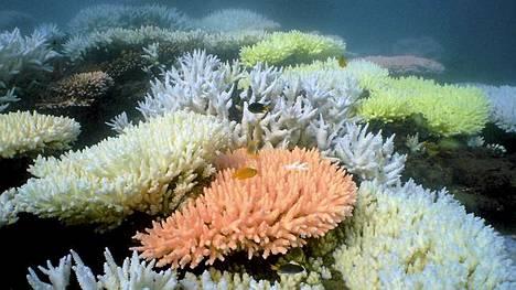 Ison valliriutan korallit ovat häviämässä pelottavalla tahdilla.