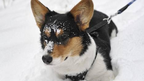 Pakkasenpuremat uhkaavat myös lemmikkiä – kaikkia koiria ei saisi jättää ulos kaupan eteen edes ostosten ajaksi