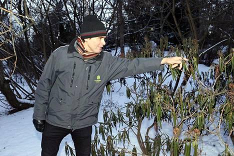 Ylipuutarhuri Pertti Pehkonen esitteli nupullaan olevia alppiruusuja Helsingin Kaisaniemen kasvitieteellisessä puutarhassa tammikuussa 2014.