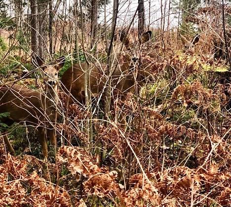 Jos metsään haluat mennä nyt, sä takuulla yllätyt. Tässä kuvassa ei ole lastenlaulun lupaamia teddykarhuja huviretkellä, vaan maastossa on piilosilla muita metsän eläimiä. Kuinka monta löydät?
