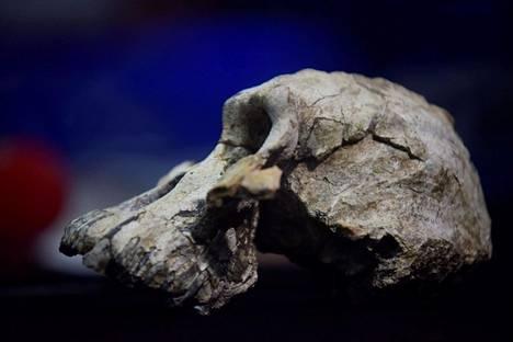 Vuonna 2016 löydetty Australopithecus anamensiksen kallo.