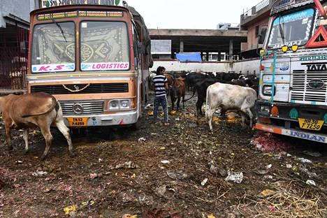 Lehmät käyskentelivät suljetulla torilla Intian Delhissä.