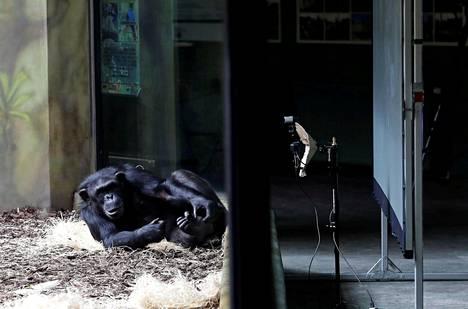 Simpanssi rentoutui palaveriin osallistuessaan.