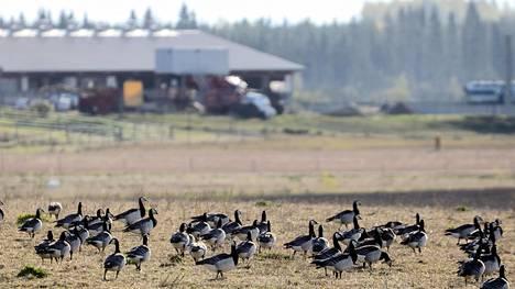Hallituksen hanhityöryhmä ehdottaa yhdeksi ratkaisuksi ongelmaan ruokailualueiden eli lintupeltojen perustamista,