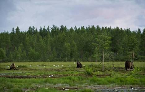 Karhuja Viiksimossa Kuhmossa 19. heinäkuuta 2012.