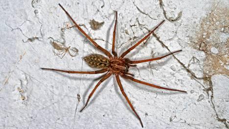Varastohämähäkki on Suomessa viihtyväksi hämähäkiksi varsin kookas.