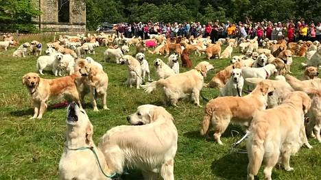 Hellyttävä näky: 361 kultaistanoutajaa pellolla Skotlannin ylämailla – rakastettu koirarotu täyttää 150 vuotta