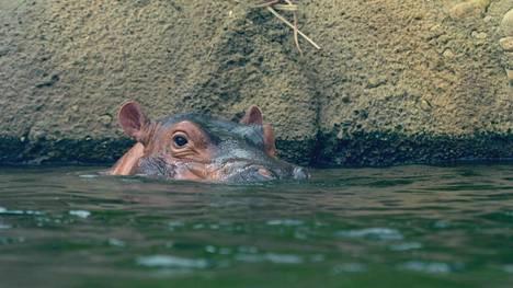 Maailmankuulu Fiona-virtahepo esiintyy luontodokumentissa, jossa hämmästellään, miksi virtahevot uivat niin nopeasti.