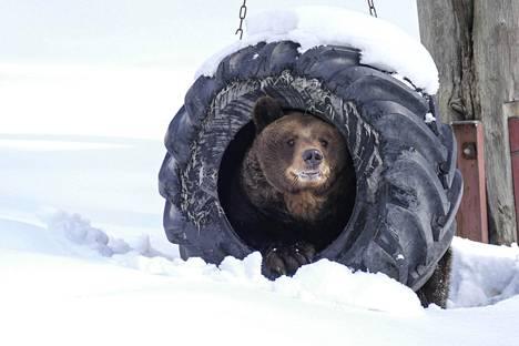 Ähtärin karhut heräsivät talviunilta. Kuvassa Mörri.