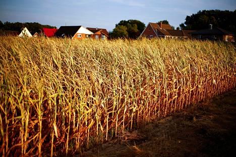 Kuivunut maissipelto Saksassa.