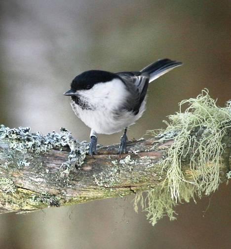 Nyt esimerkiksi pääkaupunkiseudulla hömötiaista ei näe kuin satunnaisesti. Vielä muutama vuosikymmen sitten niitä oli 1,5 miljoonaa paria. Suomen pesivistä 246 lintulajista 86 luokiteltiin uudessa arvioinnissa uhanalaisiksi.