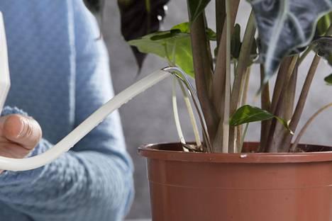 Innokas kastelija voi istuttaa kasvit ruukkuun, josta ylimääräinen vesi pääsee valumaan aluslautaselle. Tyhjennä aluslautanen, jos siinä on vettä vielä vartin kuluttua kastelusta.