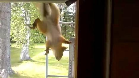 Orava yrittää vimmatusti sisään