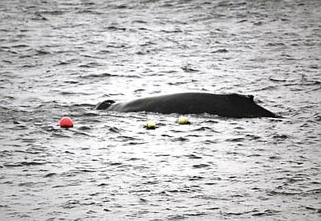 Skotlantilainen eläintensuojelujärjestö julkisti kuvan jumiin jääneestä ryhävalaasta.