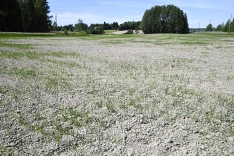 Vantaalainen pelto kaipasi vettä kesäkuun alussa.