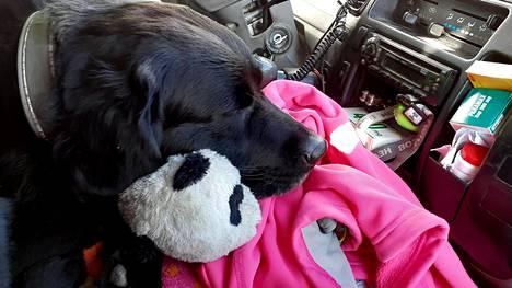 Matkalla on mukana myös Hyvärisen labradorinnoutaja.