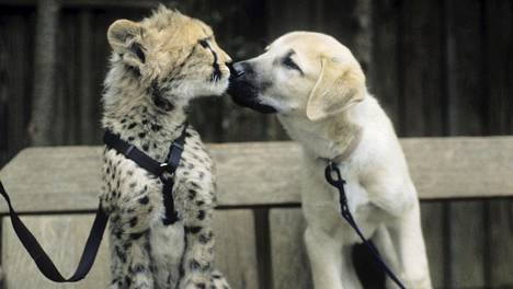 Sarah-gepardi (vas.) pentuna ystävineen.